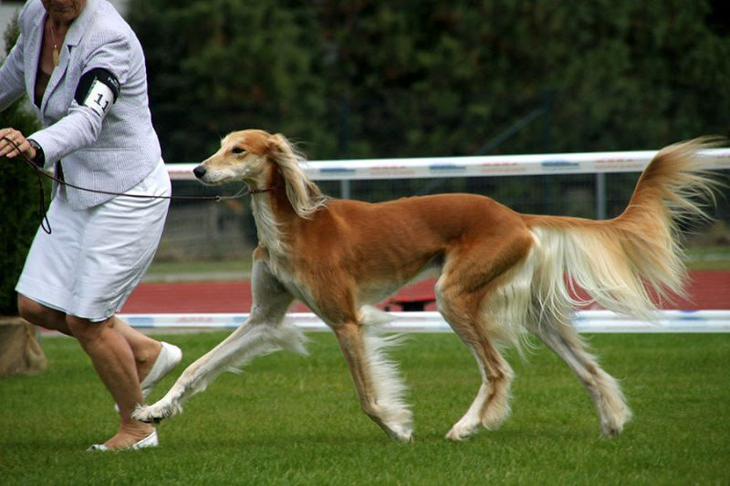 Saluki dog price range. Saluki puppies for sale cost from best breeders