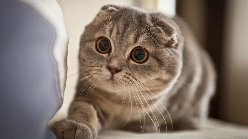 Scottish Fold cat price range. Scottish Fold kittens for sale cost?