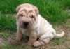 Shar Pei price range. Shar Pei puppies for sale cost? Best Shar Pei breeders