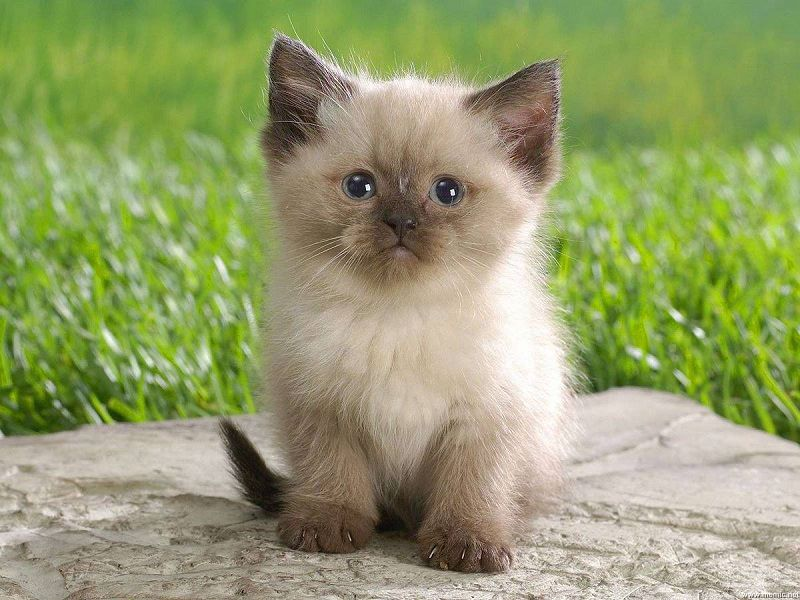 Siamese cat price range. Siamese kittens cost. Best Siamese cat Breeders