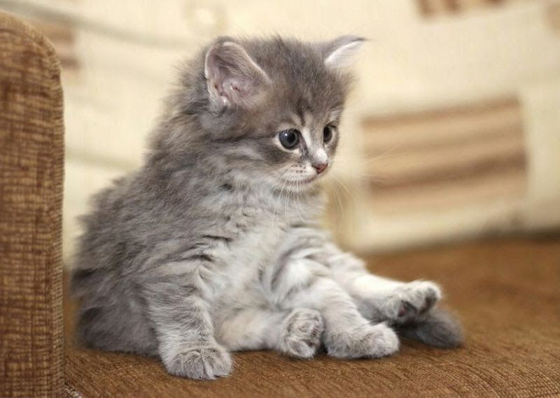 Siberian cat price range. Siberian Forest kittens for sale cost & price