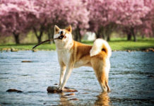 The origin of the Akita Inu. Japanese, American Akita history & origin