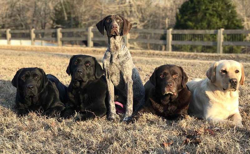 Ashland Labradors - Tennessee. Labrador puppies for sale in Ashland