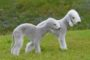 Bedlington Terrier price range. Where to find Bedlington puppies for sale?