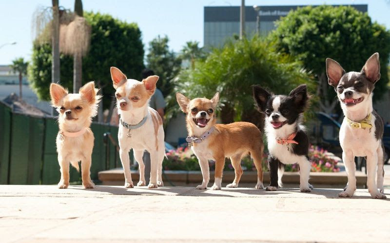 Chihuahua temperament & appearance. Chihuahua dog breed information
