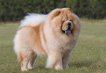 Origin & history of Chow Chow - Lion Dog of Tang Empire (China)