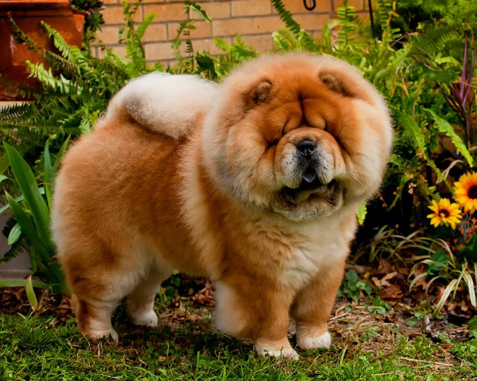 Cross B Chows - Breeder in Kansas. Chow puppies for sale in Cross B