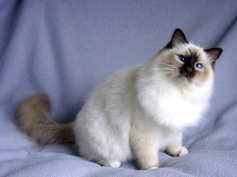 Snowshoe cat price & cost range. Snowshoe kittens for sale price list