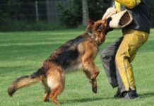 German Shepherd temperament & characteristics. GSD history & origin