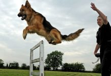 German Shepherd training & exercises. German Shepherd care guide