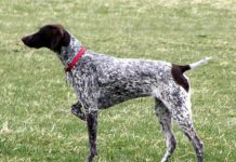 German Shorthaired Pointer price range. GSP puppies for sale price list