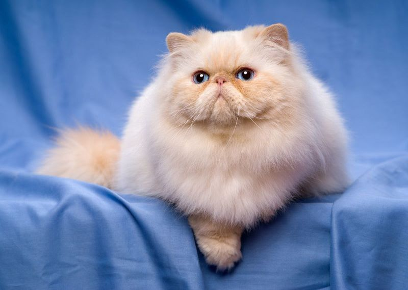 Persian cat price range. Persian kittens for sale cost & Where to buy?