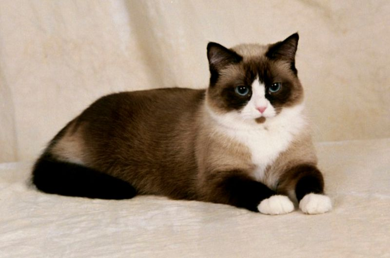 Snowshoe Cat Price Cost Range Snowshoe Kittens For Sale Price List