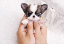 Chihuahua puppies care. How to take care of a Chihuahua puppy?