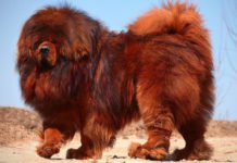 Tibetan Mastiff temperament & characteristics. World's largest dog breed