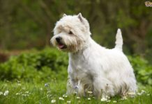 West Highland White Terrier price range. Westie puppies for sale cost