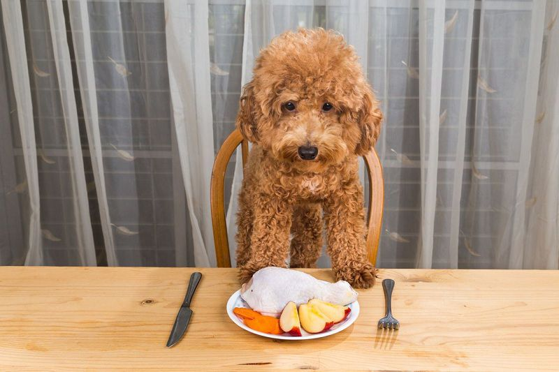 Best dog food for Poodles. Poodle diet. How to feed Poodle?