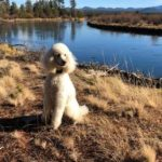 Cabernet Standard Poodles kennel, California. Poodle puppies for sale
