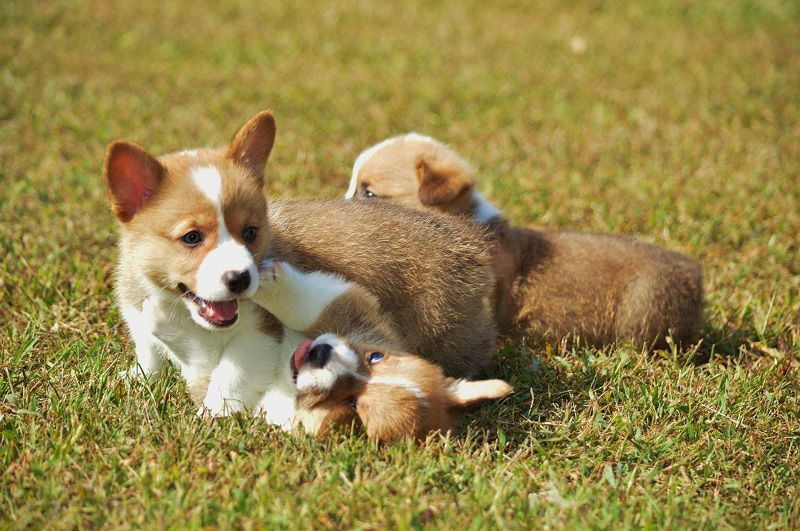 F&M Kennel - Corgi Breeders in Kansas. Corgi puppies for sale in F&M