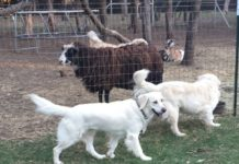Gold Ducat Kennels - Breeder in Texas. Golden retriever puppies for sale