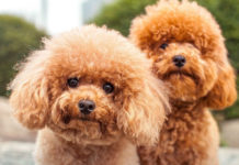 Hair care & Hygiene care for Poodles. How to take care of Poodle's coat?