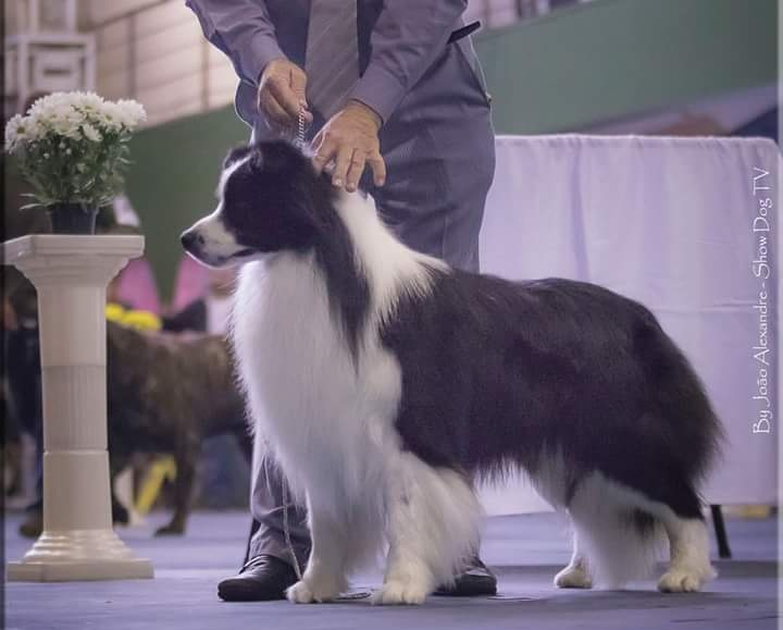 Happenstance Border Collies - Breeder in Colorado. Puppies for sale in Happenstance