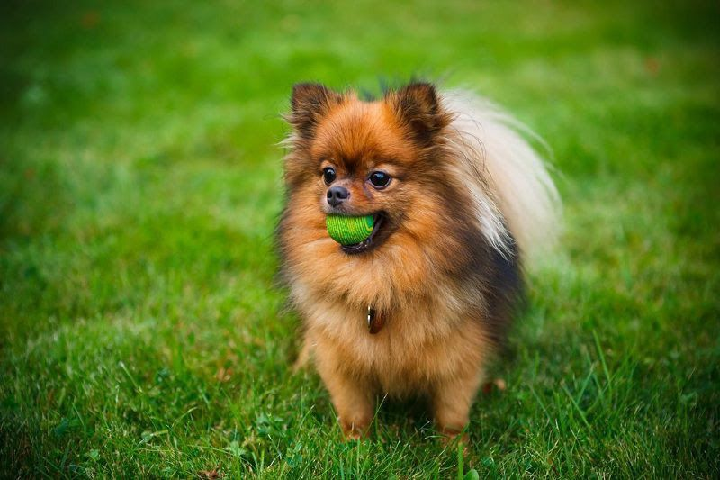 How to take care of a Pomeranian puppy? Pomeranian care guide