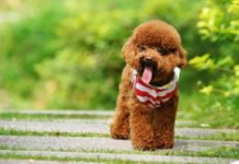 Poodle sizes & Poodle temperament. How to take care of the Poodle?