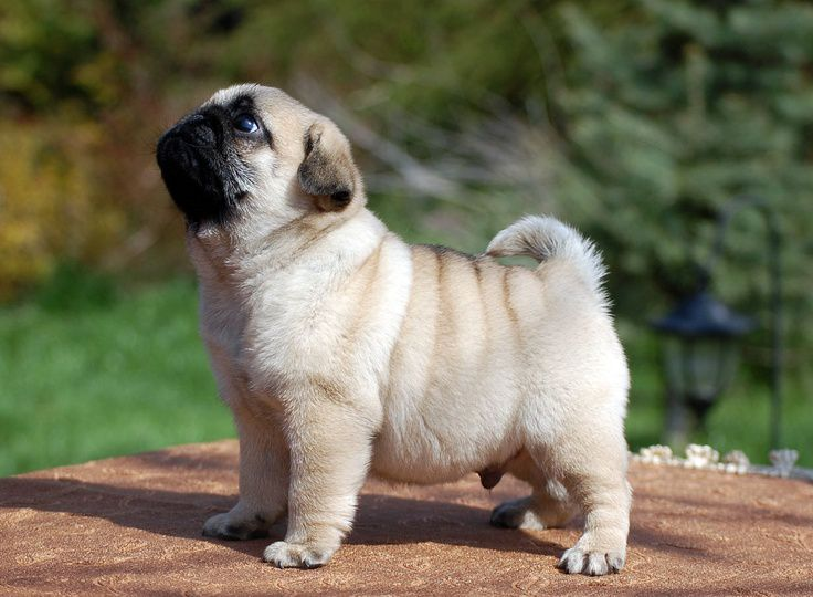 Pug temperament. Pug characteristics.All infomation about Pug