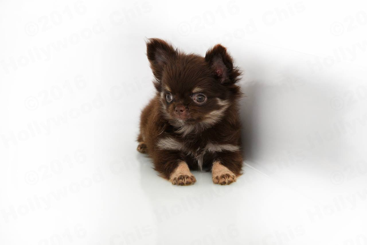 Hollywood Chis kennels - Chihuahua breeders in Florida. Chihuahua price in Florida