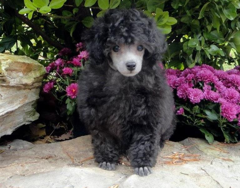 Jaipur Toy Poodles - Poodle Breeder in Berkeley Springs, West Virginia
