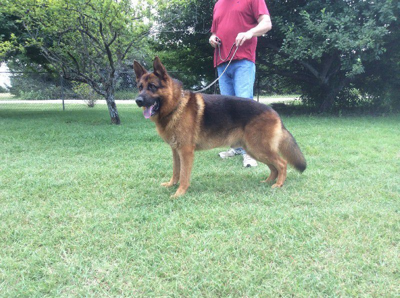 Nevada Haus Kennel - German Shepherd Breeder in Nevada, Texas
