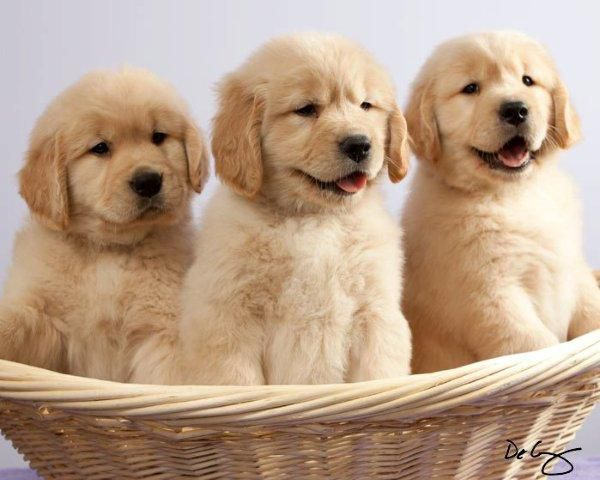 Sun-Golden Kennel - Golden Retriever Breeder in Edgerton, Wisconsin