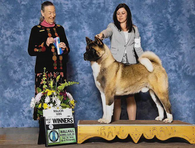 Xtreme Akitas kennels - Breeder in Delaware. Akita price in Delaware