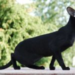 oriental shorthair price. beautiful oriental shorthair cat pictures