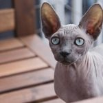 sphynx cat price. beautiful sphynx cat pictures
