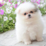 Pomeranian boo price. Cute Pomeranian boo dog pictures