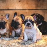 French Bulldog Price. Cute French Bulldog Puppies Pictures