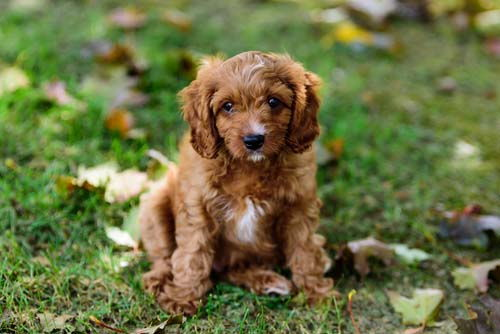 Discovering the Charming Cavapoo - Pet Price List
