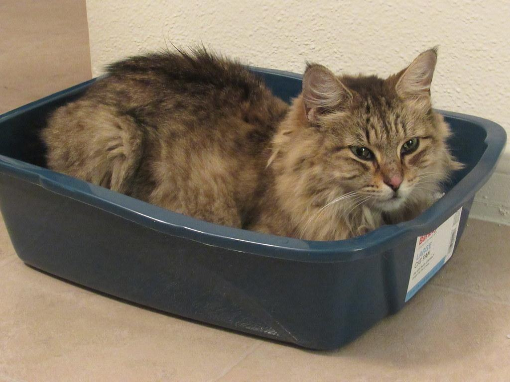 Strange Behavior: Why Does My Cat Lie In The Litter Box?