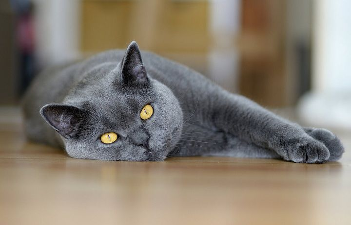 Chartreux cat price range. Where to buy a Chartreux cat or kitten?