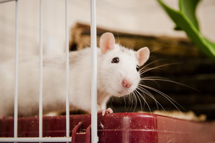 Taking Care of Your Pet Rat. How To Train a Rat?