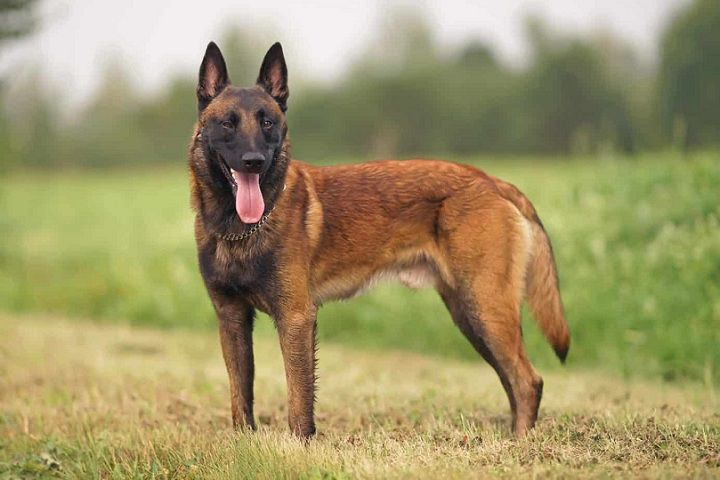 How Much is a Belgian Malinois. Cost Factors for Belgian Malinois Puppies