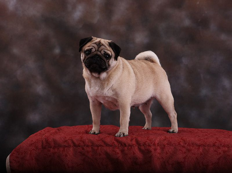 Coral Bay - Pug & Papillon Breeder in Loxahatchee, Florida