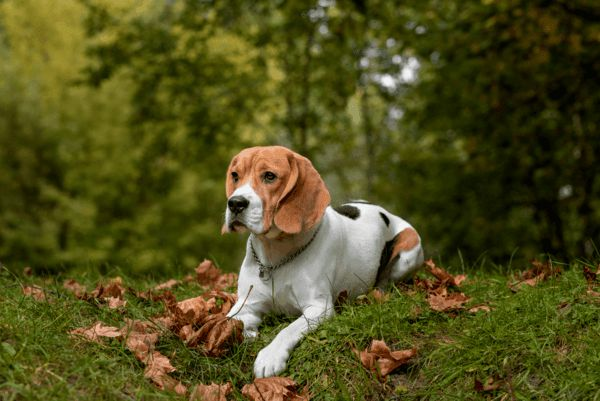 K-run Beagles - Beagle Breeder in St. Louis, Missouri