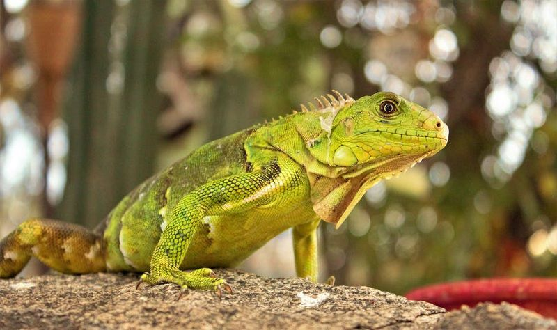 5 Interesting Facts About Iguanas You Didn't Know