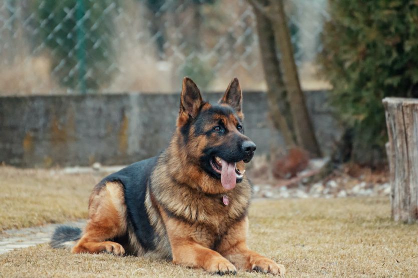 Alaskan Husky Vs. German Shepherd – Characteristics & Facts