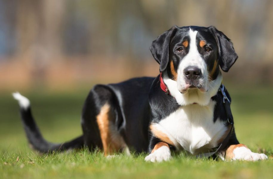 How Much Do Greater Swiss Mountain Dogs and Puppies Cost?
