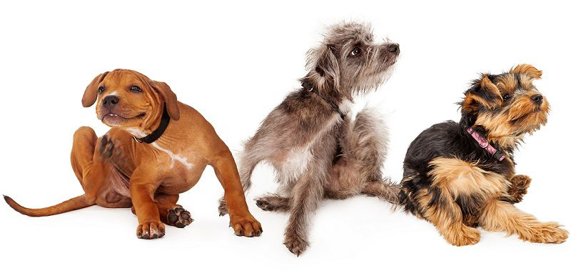 How To Choose The Best Flea Treatment For Your Dog