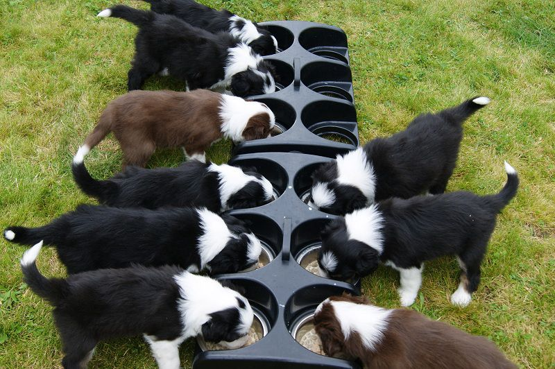 How to Choose the Best Puppy Food? The Best Food for Puppies